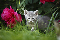Tabby kitten (felis silvestris catus) standing beside red blossom of Peony - SLF000274
