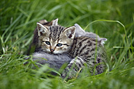 Three tabby kittens (felis silvestris catus) lying on grass - SLF000264