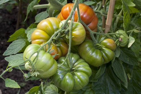 Germany, Solanum lycopersicum, unripe and ripe beef tomatos in a greenhouse - WIF000306