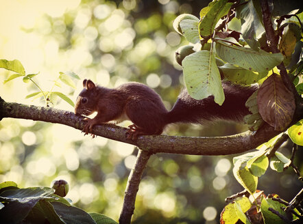 Germany, red squirrel (Sciurus vulgaris) sitting on branch on walnut tree - HOHF000353