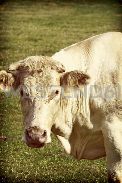 Germany, portrait of cow on pasture - HOH000356