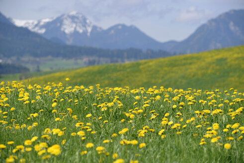 Germany, Bavaria, East Allgaeu, Hopferau, view to flowering dandelions, (Taraxacum officinale) in front of Alps - GNF001278