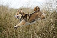Mongrel jumping over a ditch - SLF000301