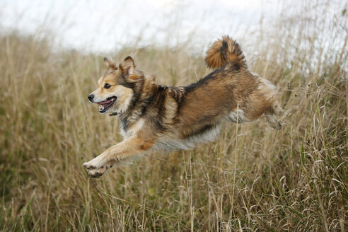 Mongrel jumping over a ditch - SLF000301