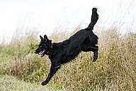 Germany, Baden-Wuerttemberg, Satteldorf, black dog, mongrel leaps over a ditch - SLF000293