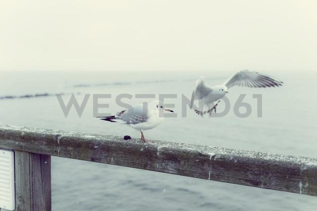 Germany, Mecklenburg-Western Pomerania, Ruegen, Seagulls at the coast - MJF000581 - Jana Mänz/Westend61