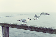 Germany, Mecklenburg-Western Pomerania, Ruegen, Seagulls at the coast - MJF000581