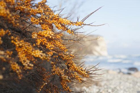 Germany, Mecklenburg-Western Pomerania, Ruegen, Sallow thorn at Cape Arkona in winter - MJF000638