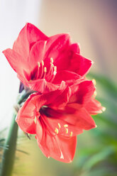 Red Amaryllis - MJF000642