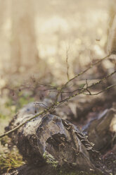 Tree stump and twigs in winter, close-up - MJF000649