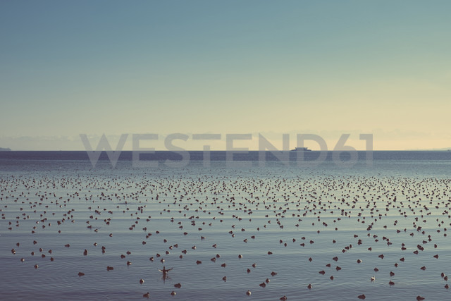 Germany, Baden-Wuerttemberg, Constance, Lake Constance with many water birds - ELF000811