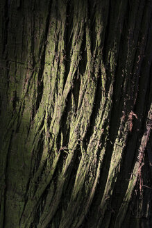 Germany, Baden-Wuerttemberg, Constance, bark of dawn redwood (Metasequoia glyptostroboides), close-up - ELF000816