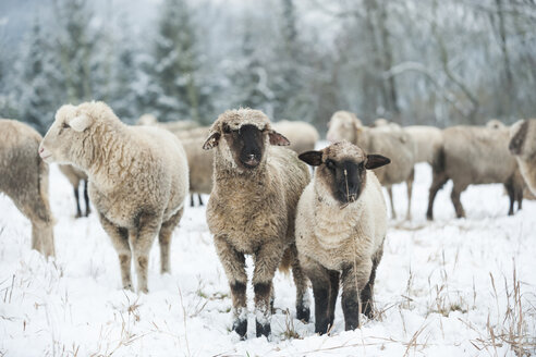 Germany, Rhineland-Palatinate, Neuwied, flock of sheep standing on snow covered pasture - PAF000287