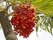 Caribbean, Antilles, Lesser Antilles, Saint Lucia, fruits of pech palm - AM001722