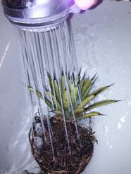Agave macroacantha having all soil removed and being cleaned in the shower, Bonn, North Rhine-Westphalia, Germany - MEAF000115