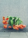 Germany, Bavaria, Munich, wilted tulips on the sidewalk - BRF000052