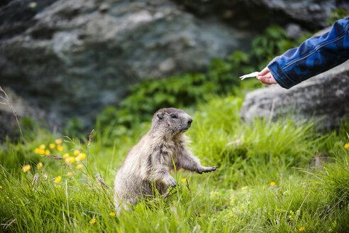 Austria, Carinthia, Kaiser-Franz-Josefs-Hoehe, boy feeding alpine marmot (marmota marmota) - PAF000278