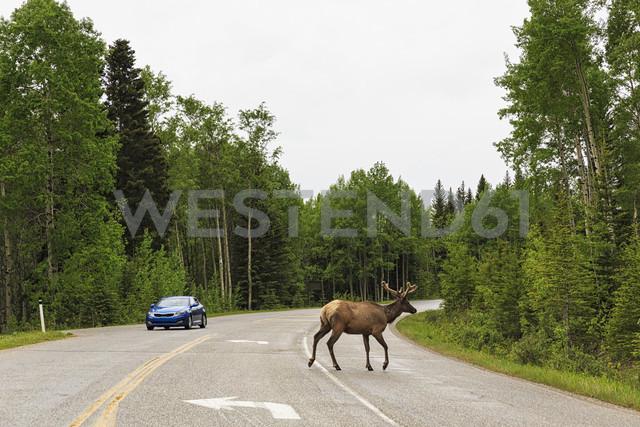 Canada, Alberta, Banff National Park, , Bow Valley, Elk crossing highway - FO005705