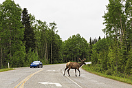 Canada, Alberta, Banff National Park, , Bow Valley, Elk crossing highway - FO005705