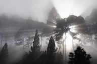 Spain, Canary Islands, La Palma, Pine wood, sunbeams, foggy - SIEF004994