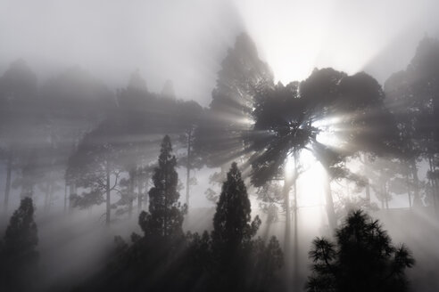 Spain, Canary Islands, La Palma, Pine wood, sunbeams, foggy - SIEF004994