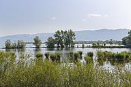 Austria, Vorarlberg, Hard, Scheienloch,  Nature Reserve Rhine Delta, mouth of the Rhine - SIEF004978