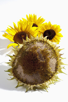 Withered and fresh sunflowers (Helianthus annuus), studio shot - CSF020728