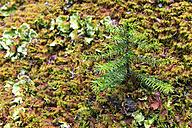 Canada, British Columbia, Yoho Nationalpark, Small conifer - FO005850
