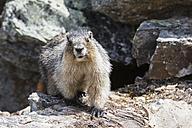 Canada, British Columbia, Yoho Nationalpark, Hoary marmot (Marmota caligata) - FOF005877