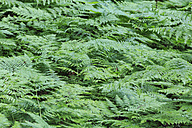 Canada, British Columbia, Mount Revelstoke National Park, ferns at Giant Cedars Boardwalk Trail - FOF005676
