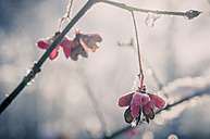 Detail of spindle tree (European Evonymus) in winter - MJF000771