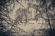Flock of sheep at winter landscape - MJF000777
