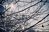 Twigs of  pussy willows at back light - MJF000789