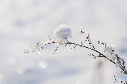 Snow covered twig in front of white background, close-up - MJF000792