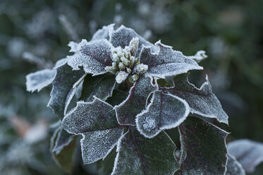 Frozen plant, close-up - MJF000797