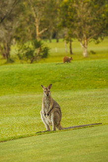Australia, Hawks Nest, kangoroo (Macropus giganteus) on golf course - FB000167