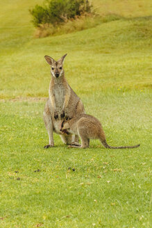 Australia, Hawks Nest, kangoroos (Macropus giganteus) on golf course - FBF000171