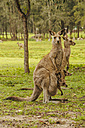 Australia, New South Wales, kangoroos with joey (Macropus giganteus) on meadow - FBF000176