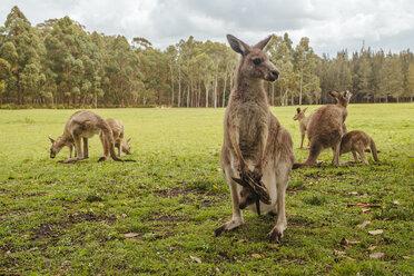 Australia, New South Wales, kangoroos, some with joey (Macropus giganteus) on meadow - FBF000178