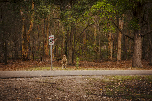 Australia, New South Wales, Kangoroo, (Macropus giganteus) waiting on a street - FBF000181