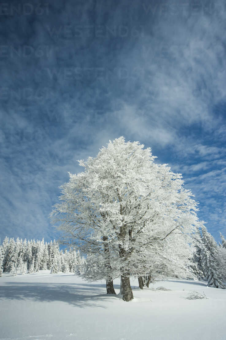 Germany, Baden-Wuerttemberg, Black Forest, Feldberg, Trees in winter - PAF000314 - Andreas Pacek/Westend61