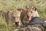 Kenya, Rift Valley, Maasai Mara National Reserve, Lions eating blue wildbeest - CB000196