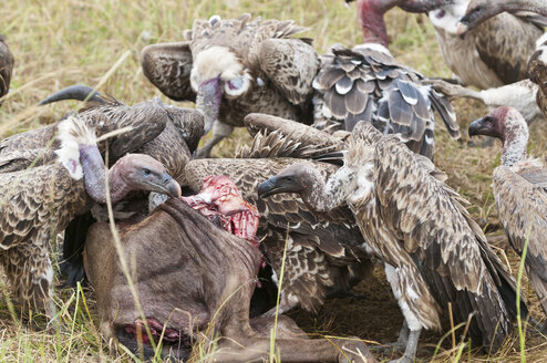 Kenya, Rift Valley, Maasai Mara National Reserve, Rueppell's vultures eating carrion - CB000191