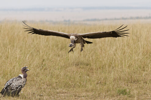 Kenya, Rift Valley, Maasai Mara National Reserve, Rueppell's vulture flying with spread wings - CB000187