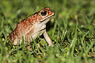 Indonesia, Bali, Close up of Asian common toad, Bufo Melanostictus - KRPF000209