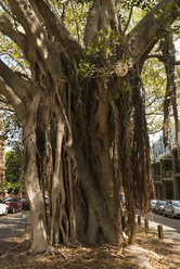 Australia, New South Wales, Sydney, trunk of Indian Banyan (Ficus benghalensis) - FBF000214
