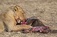 Africa, Kenya, Maasai Mara National Reserve, Female lion, Panthera leo, eating - CB000205