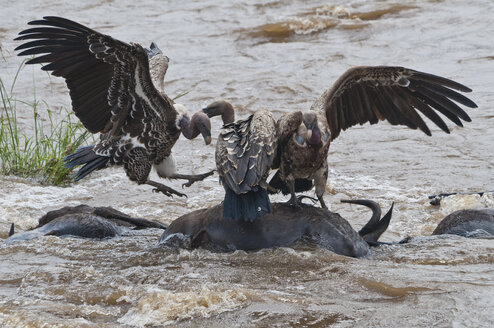 Africa, Kenya, Maasai Mara National Reserve,Rueppell's Vulture Gyps rueppellii, eating on carcass of a Common Wildebeest, Connochaetes taurinus, drifting in the Mara River - CB000214