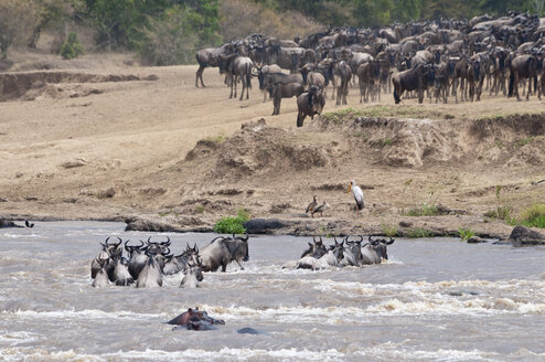 Africa, Kenya, Maasai Mara National Reserve, Common Wildebeests, Connochaetes taurinus, during migration, wildebeests crossing the Mara River - CB000215