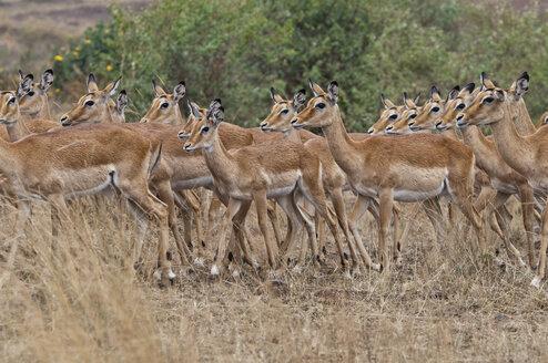 Africa, Kenya, Maasai Mara National Reserve, Impala antelopes, Aepyceros melampus - CB000217